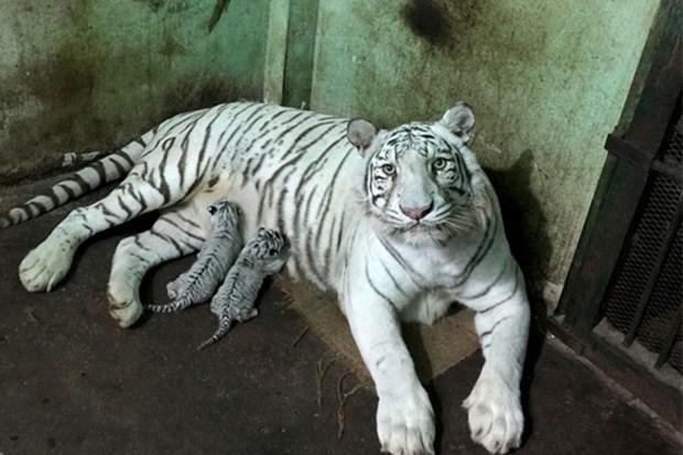 Reproducen con exito en Vietnam tigre blanco bengali hinh anh 1