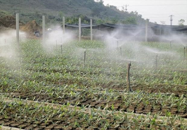 Devino cultivo de Macadamia en sector potencial de Vietnam hinh anh 1