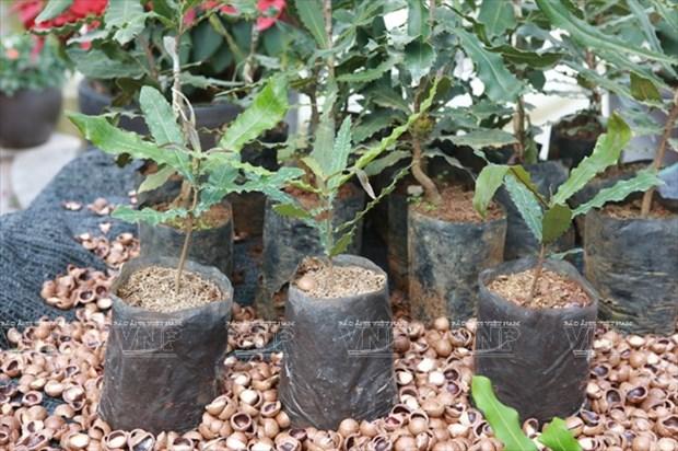 Devino cultivo de Macadamia en sector potencial de Vietnam hinh anh 2