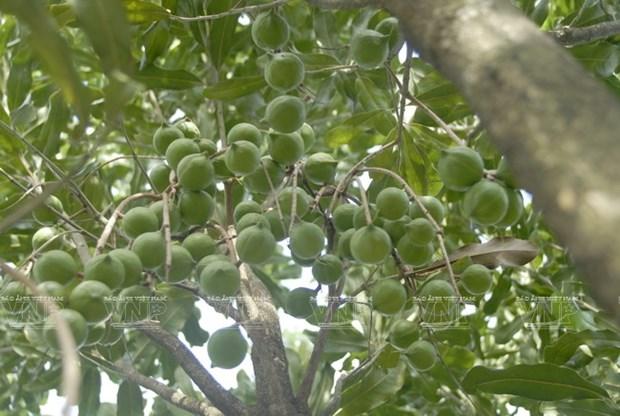 Devino cultivo de Macadamia en sector potencial de Vietnam hinh anh 4