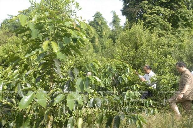 Devino cultivo de Macadamia en sector potencial de Vietnam hinh anh 3