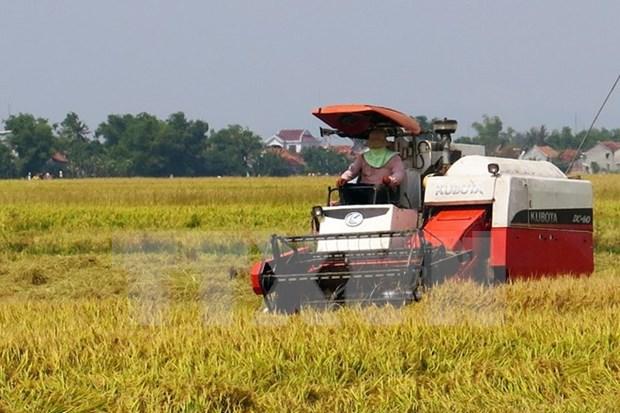 Rendimiento arrocero vietnamita alcanzara 45 millones de toneladas hinh anh 1