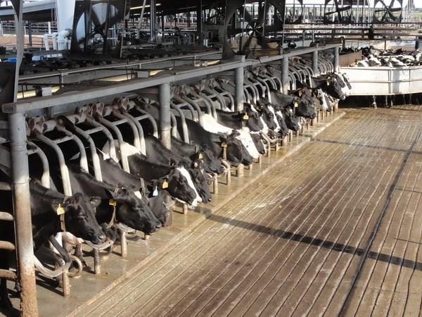 Indonesia reanuda importaciones de ganado de Australia hinh anh 1