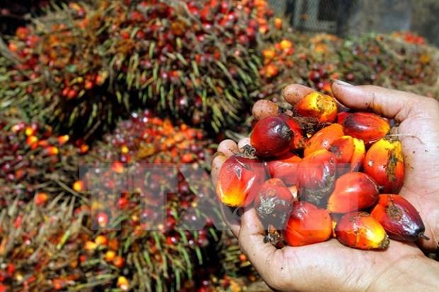 Indonesia y Malasia fundaran Consejo de productores de aceite de palma hinh anh 1