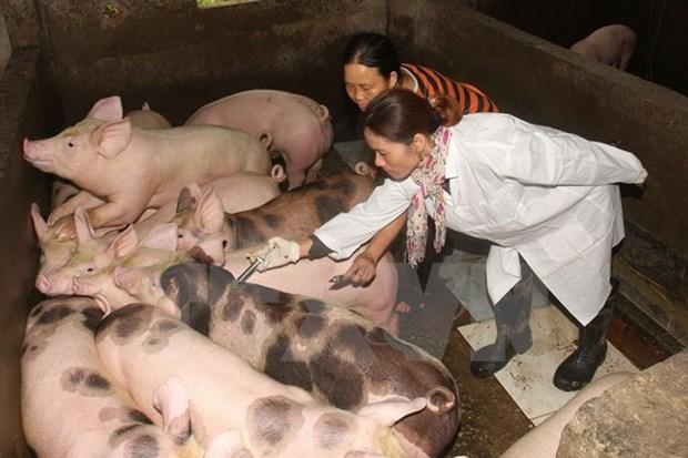 Vietnam estudia vacuna contra fiebre aftosa hinh anh 1