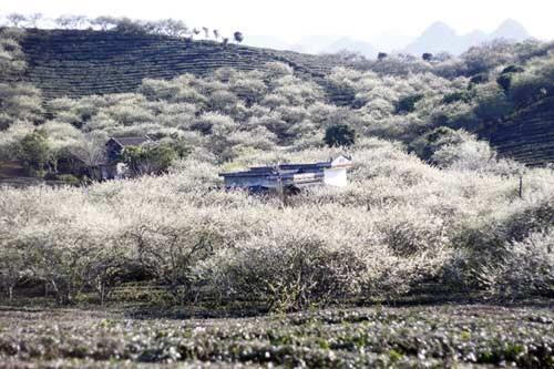 """""""Paraiso de flores de alforfon"""" en Vietnam ve alud de turistas hinh anh 2"""