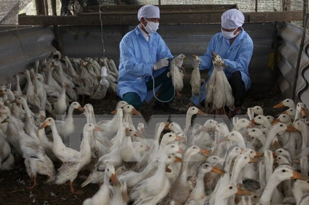 Dedica Vietnam gran esfuerzo por fomentar lucha contra gripe aviar hinh anh 1