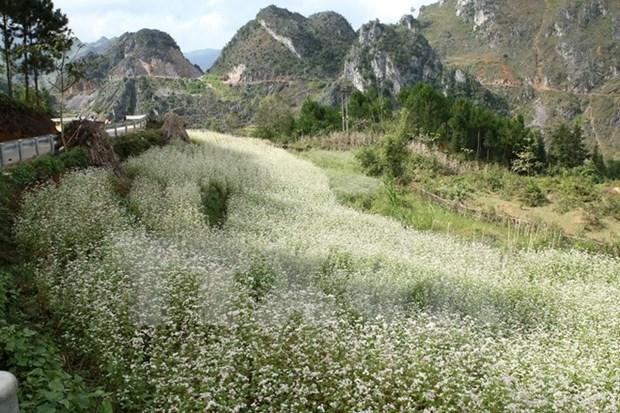 Abre sus puertas Festival de flores de alforfon en meseta Dong Van hinh anh 1