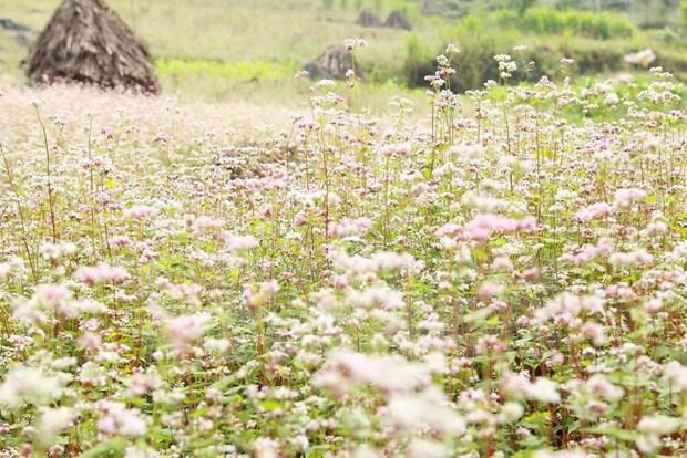 Abre sus puertas Festival de flores de alforfon en meseta Dong Van hinh anh 2