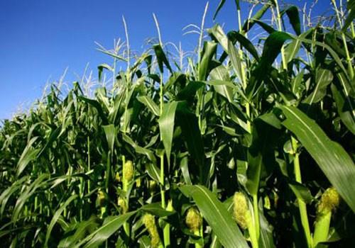 Empresas vietnamita y francesa cooperan en el cultivo de maiz hinh anh 1