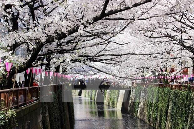 Cerezos japoneses florecen en Hanoi hinh anh 1