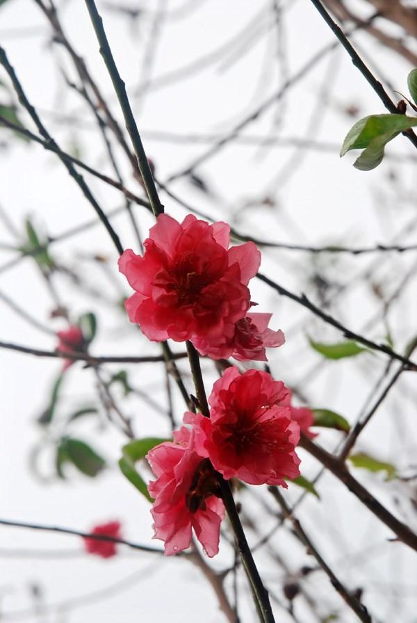 Atmosfera de Ano Nuevo Lunar llega temprano a aldea de flores Nhat Tan hinh anh 4