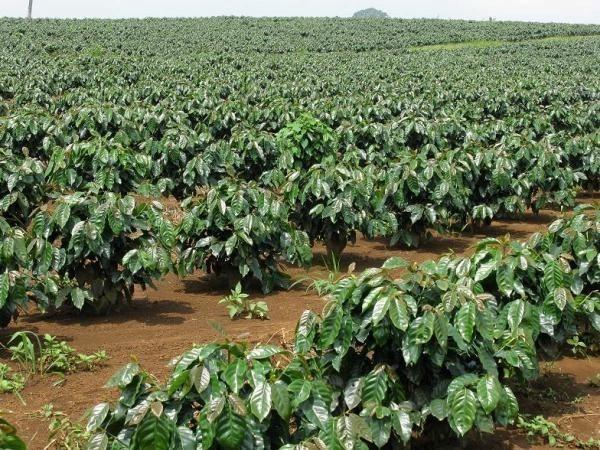 Caficultores vietnamitas y la cuestion de mejorar calidad de productos hinh anh 1