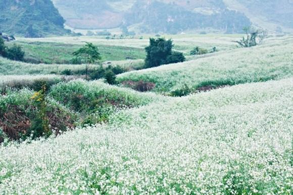 Rabanizas blancas en la tierra alta de Moc Chau hinh anh 4