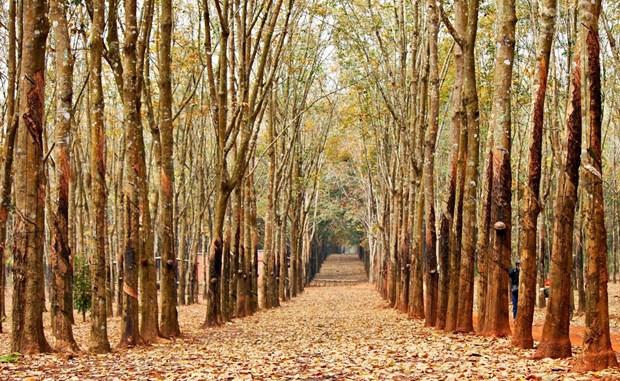 Plantaciones de caucho, patrimonio natural de Gia Lai hinh anh 1