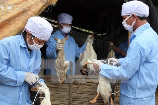 Sacrifican cerca de mil aves de corrales con gripe aviar A/H5N6 hinh anh 1
