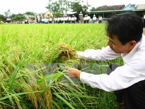 Se reduciran cien mil hectareas del cultivo de arroz en 2016 hinh anh 1