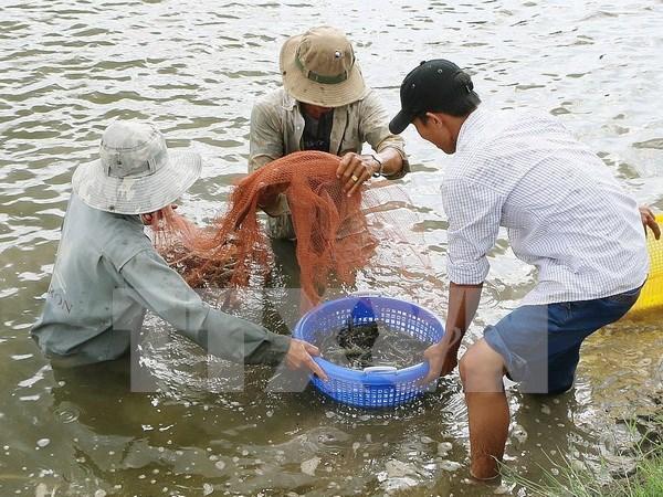 Vietnam estrecha inspeccion de suministros de camarones para reproduccion hinh anh 1