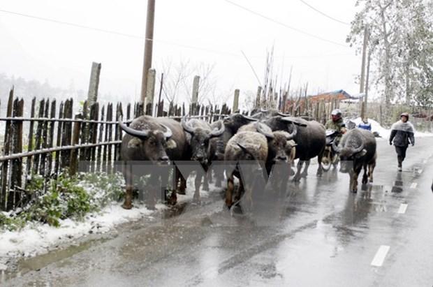 Mas de 12 mil 700 reses mueren por frio en el Norte de Vietnam hinh anh 1
