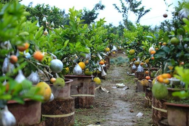 Hortelano vietnamita crea arbol con diez diferentes tipos de frutas hinh anh 1