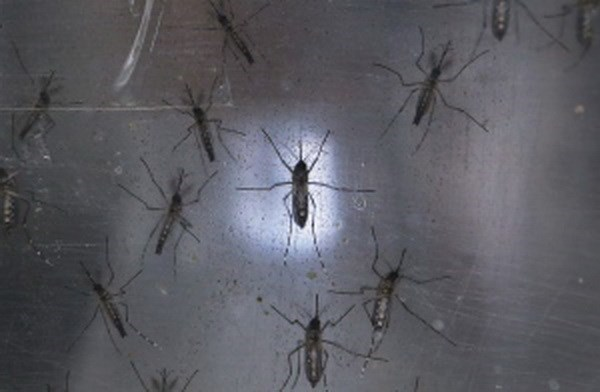Indonesia orienta a sus ciudadanos evitar viajes a zonas infectadas por Zika hinh anh 1