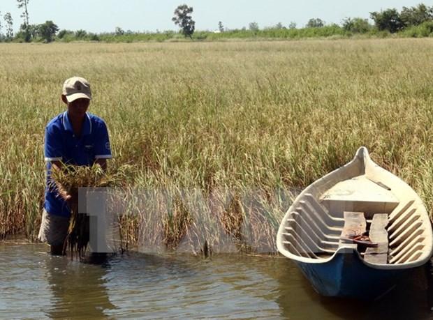 Intrusion salina afecta a miles de hectareas de arroz en provincia vietnamita hinh anh 1