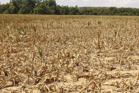 El Nino causa graves perdidas al cultivo en provincia vietnamita hinh anh 1