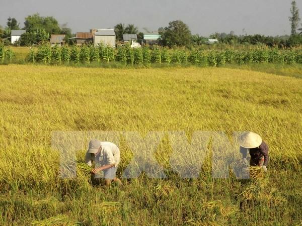 Lanza Vietnam nuevas variedades de arroz resistente a salinidad hinh anh 1