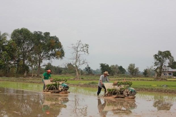 Laos proyecta exportar un millon de toneladas de arroz hinh anh 1