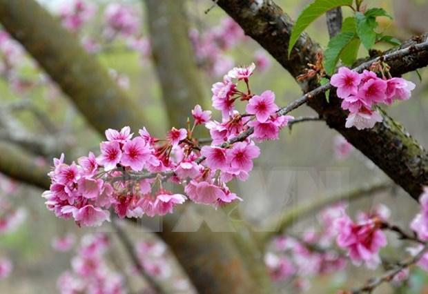 Floreceran cerezos japoneses en ciudad norvietnamita de Ha Long hinh anh 1
