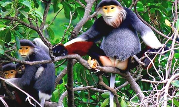 El duc de canillas rojas sera simbolo de biodiversidad de Da Nang hinh anh 1