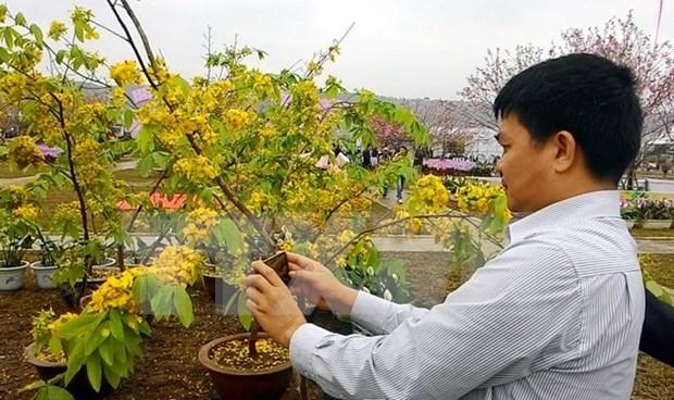 Inauguran Festival de Flores de Cerezo y Ochna de Yen Tu hinh anh 1