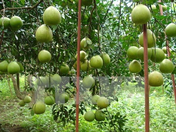 Pomelos de Tan Trieu afianzan posicion en mercado nacional e internacional hinh anh 1
