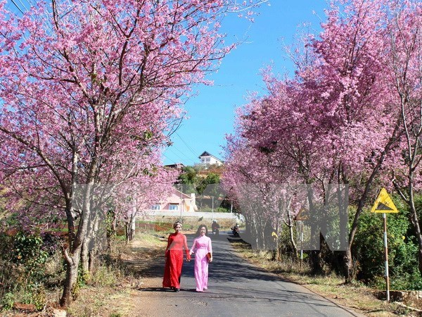 Primer Festival de flor de cerezo en Ciudad Ho Chi Minh hinh anh 1