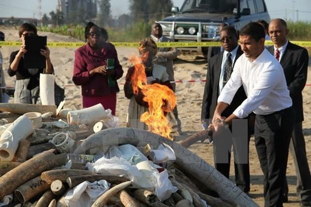 Malasia destruye a cerca de 10 toneladas de colmillos de elefantes hinh anh 1