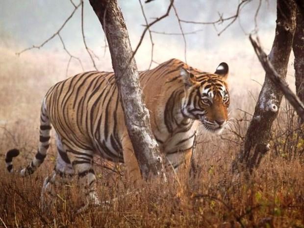 Tigres en peligro de extincion en Vietnam hinh anh 1