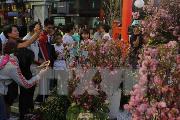 Provincia vietnamita se embellece con flores de cerezo de Japon hinh anh 1