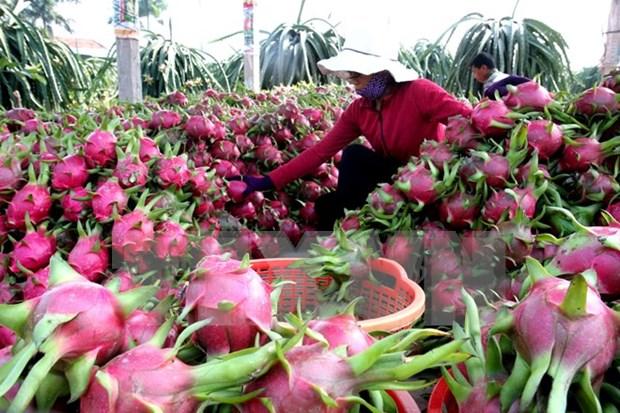 Australia considera importacion de pitahaya de Vietnam hinh anh 1