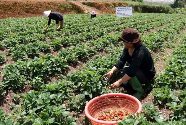 Agroturismo en las granjas de fresas en Da Lat hinh anh 1