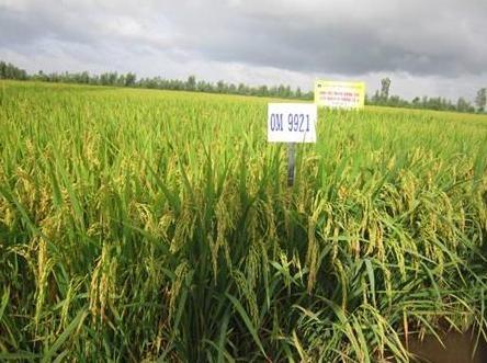 Delta del Mekong desarrolla variedades del arroz resistentes a la salinidad hinh anh 1