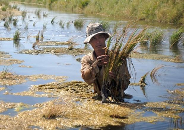 Ca Mau: salinizacion afectan 30 mil hectareas de tierras para produccion hinh anh 1