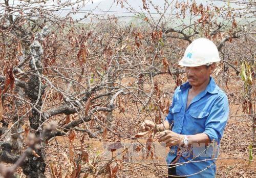 Severa sequia amenaza cultivo de cafe en las provincias altiplanas vietnamitas hinh anh 1