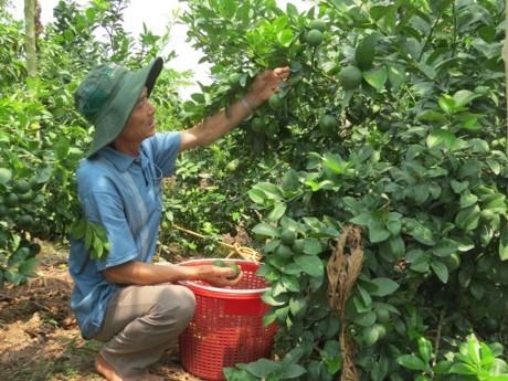 Vietnam exporta limones a Sudcorea hinh anh 1
