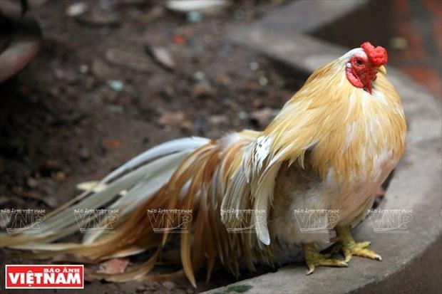 Pasion por los gallos ornamentales en Hanoi hinh anh 1