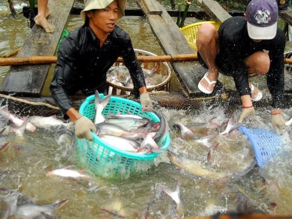 Sector de pescado Tra de Vietnam mira hacia el desarrollo sostenible hinh anh 1