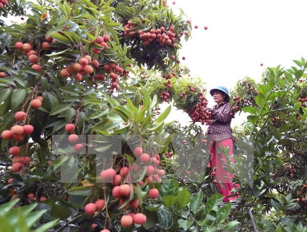 Provincia de Vietnam exporta mas de 32 mil toneladas de lichi hinh anh 1