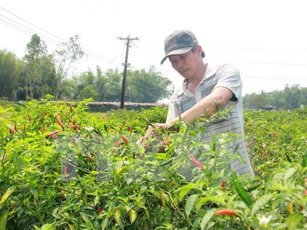 Oportunidades en exportacion de aji para empresas vietnamitas hinh anh 1