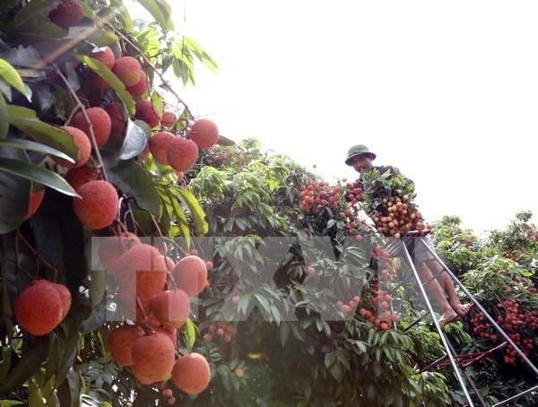 Provincia norvietnamita de Hai Duong exporta cinco mil toneladas de lichi hinh anh 1