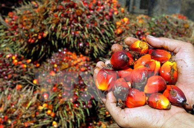 Suspende Indonesia apertura de nuevas granjas palmeras hinh anh 1