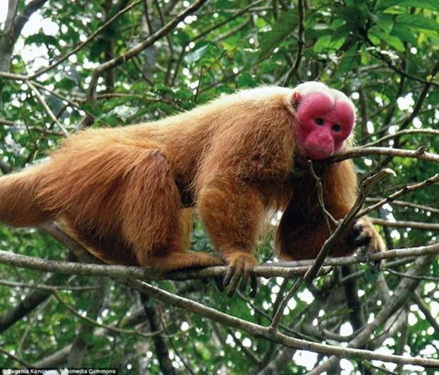 Retornan a la naturaleza en Vietnam a un macaco rabon hinh anh 1